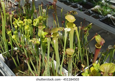 Sarracenia flava the yellow pitcherplant and white pitcher plant, Sarracenia leucophylla, endemic, endangered flowers, greenhouse for saving the gene pool, rescue, carnivorous, science, Europe, EU