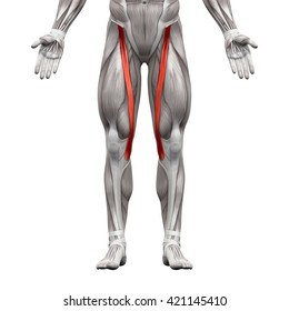 Sartorius - Anatomy Muscles isolated on white - 3D illustration