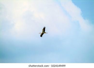 Sarus Crane (Antigone Antigone) flying over Hezbollah-controlled Beaufort Crusader Castle near Arnoun in Nabatieh Governorate, Lebanon.