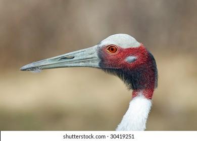 Sarus Crane Close Up