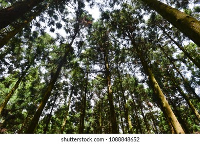 The Saryeoni forest path is designated as a  Biosphere Reserve by UNESCO. The main types of tree are Cedar and Cypress which are high and dense, The sky and sunshine are seen through the trees.