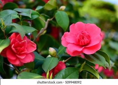 Sasanqua - Camellia sasanqua.