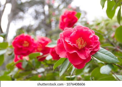 Sasanqua Camellia japónica with red-pink flowers, common camellia,  Rose of winter