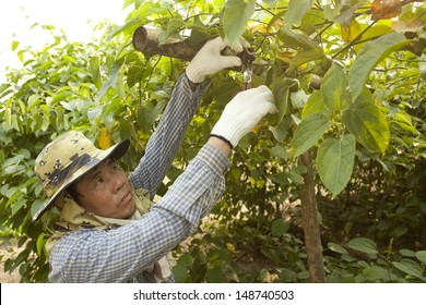 Sasha inchi plantation, farmer with Sasha inchi tree in plantation