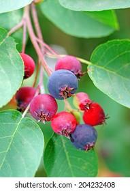 Saskatoon berries on a branch in a garden close up
