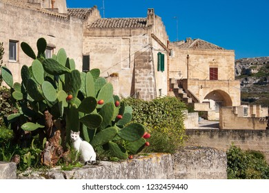 Sassi or stones of Matera European capital of culture 2019, Basilicata, Italy. White cat and cactus with old houses.