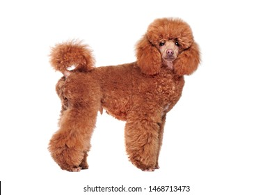 Satanding side view picture of a caramel color poodle