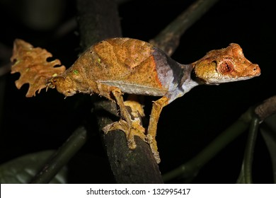 Satanic Leaf-tailed Gecko (Uroplatus phantasticus) in Ranomafana rain forest in eastern Madagascar. Red eyes and horns above eyes earn this supremely camouflaged lizard its devilish name.