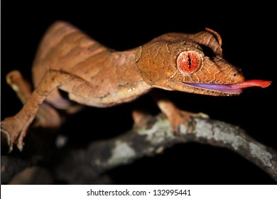 Satanic Leaf-tailed Gecko (Uroplatus phantasticus) sticking out tongue in Ranomafana rain forest in Madagascar. Red eyes and horns above eyes earn this supremely camouflaged lizard its devilish name.
