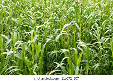 Satara / India 16 August 2018 Pearl millet pennisetum glaucum field at Satara Distric village in Maharashtra India