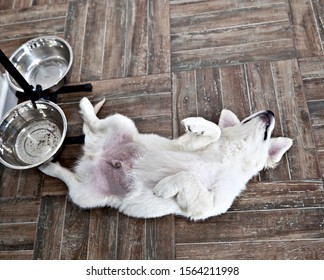 Satiety puppy dog ​​breed Labrador Retriever lies near an empty bowl belly up