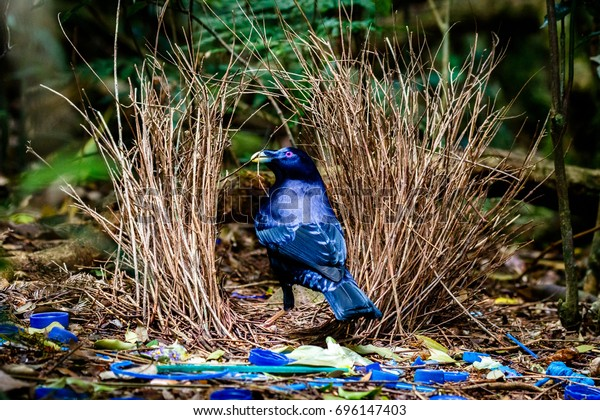 Satin Bowerbird sitting at his bower with collected blue objects