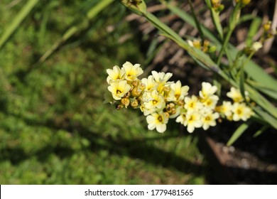 """""""Satin flower"""" (or Pale yellow-eyed-grass, Pigroot, Rush Lily) in St. Gallen, Switzerland. Its Latin name is Sisyrinchium Striatum (Syn Phaiophelps Nigricans), native to Argentina and Chile."""