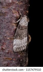 Satin Lutestring moth ( Tetheella fluctuosa ). Sitting on a tree trunk.