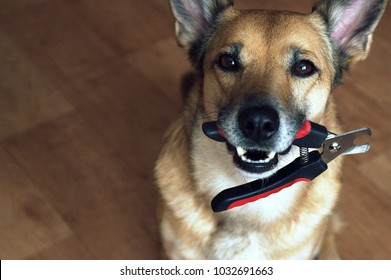 a satisfied dog holds a nail clipper, a dog and a nail clipper