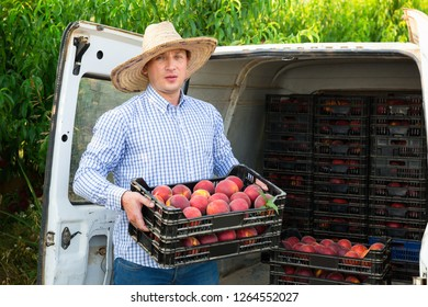Satisfied  man  professional horticulturist packing crates  with tasty peaches to car
