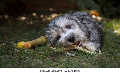 Satisfied puppy, lying on the grass and biting the stick. The breed of dog is dandie dinmnont terrier.
