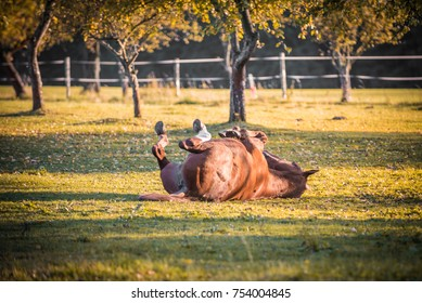 Satisfied rolling horse in an apple orchard on green grass. Blurred fence on background.