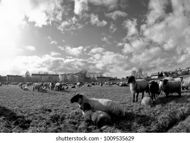 satisfied sheep on winter pasture in sunny, clear weather on the edge of a new housing estate