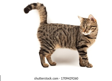 Satisfied striped young cat stands. Isolated on abstract blurred white background. Veterinary and advertising mockup. Detailed studio closeup