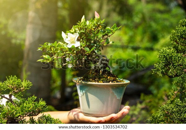 Satsuki Azalea Bonsai Hand Stock Photo Edit Now 1303534702