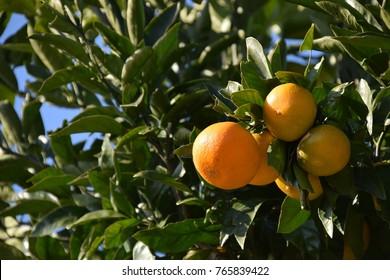 "Satsuma orange - Citrus unshiu. It is called ""Mikan"" in Japan."