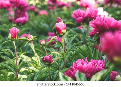 Saturated pink peonies in spring garden. Beautiful magenta peony buds and flowers with lush green foliage.