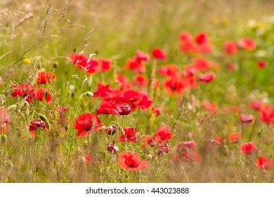 Saturated red poppies in the green fresh summer field