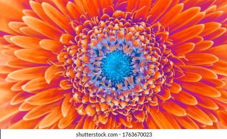 Saturation luminosity color. Gerbera flower closeup horizontal background.