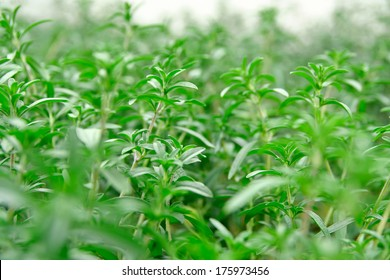 Satureja hortensis or summer savory plantation