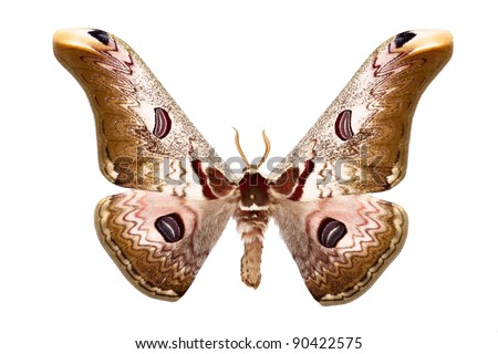 Sưu tập Bộ cánh vẩy  - Page 22 Saturnia-moth-rinaca-zuleika-hope-450w-90422575