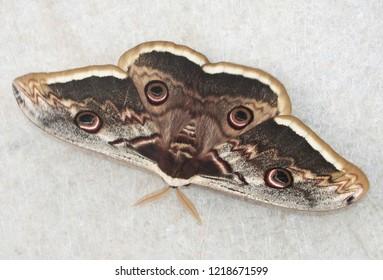 Saturnia pyri, the giant peacock moth, also called the great peacock moth, giant emperor moth, or Viennese emperor. It is the largest European moth. Ilindentsi, Bulgaria, April 2005