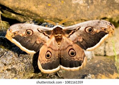 Saturnia pyri moth in natural habitat