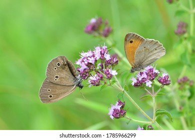 Satyrinae butterfly and bee sitting together on origanum flower