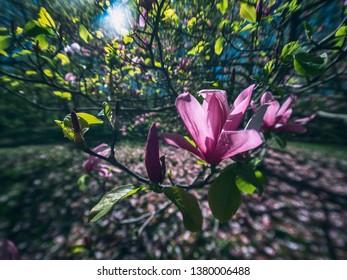Pink Saucer Magnolia Tree Images Stock Photos Vectors Shutterstock