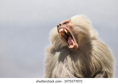 Saudi arabian Baboin AKA Papio or Baboon, Abha, Saudi Arabia
