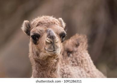 Saudi Arabian Dromedary Camel