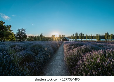 Sault Restaurant, Daylesford, Victoria, Australia: Beautiful lavender farm with lovely house at Sunset, 06/01/2019