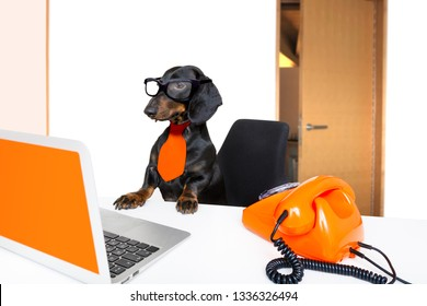 sausage dachshund dog with glasses as secretary or operator with red old  dial telephone or retro classic phone and pc laptop computer