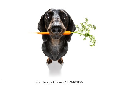 sausage dachshund dog  with  healthy  vegan carrot in mouth  , isolated on white background