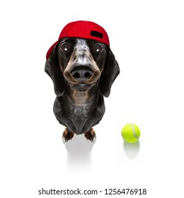 sausage dachshund  dog ready to play and have fun with owner and tennis ball toy , isolated on white background in tournament