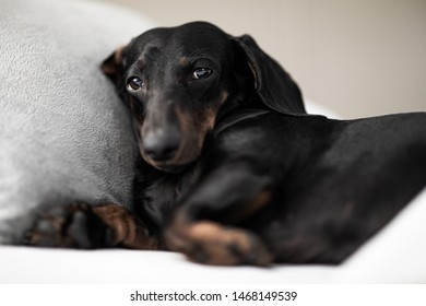 sausage dachshund dog  sleeping under the blanket in bed the  bedroom, ill ,sick or tired, sheet covering its body