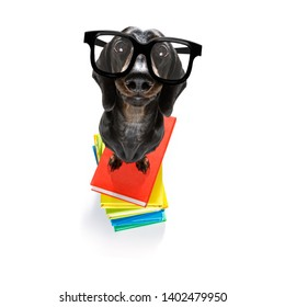 sausage dachshund   dog with   a tall stack of books ,very smart and clever , isolated on white background