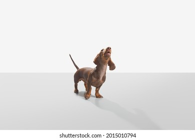Sausage dog or weiner dog pup standing 45 degree to the camera and howl head up. Wet nose and short legs. Demanding, scared or attentive concept. White background studio shot photo image.