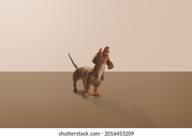 Sausage dog or weiner dog pup standing 45 degree to the camera and howl head up. Wet nose and short legs. Demanding, scared or curious concept. Beige and brown background studio shot photo image.