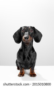 Sausage dog or weiner dog sitting straight and watching straight. Wet nose and short legs. Training and obedience dog concept. White background studio shot photo image.