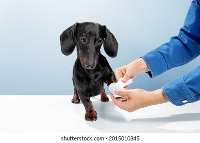 Sausage dog or weiner dog stand and watch the doctor helping. Hurt or cut the leg. Let the medical officer wrap white tape in the veterinary clinic. Blue background studio shot photo image.