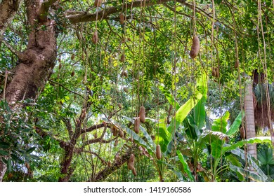 Sausage tree (Kigelia africana) with hanging fruit - Florida, USA