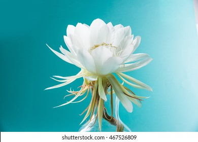 saussurea obvallata / brahma kamal flower or white lotus, It is native to the Himalayas and Uttarakhand, India, isolated