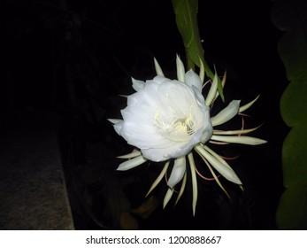 Saussurea obvallata flower, Brahma kamal